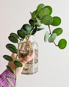 If I had a silver dollar for every time I said I was going to pot up one of my propogating plants and didn't.well, I'd probably have something like this silver dollar vine 🤷 Garden Planters, Planting Succulents, Planting Flowers, Herb Garden, House Plants Decor, Plant Decor, Propogating Plants, Plant Aesthetic, Decoration Plante