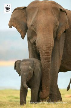 Did you know… elephants carry their young for 22 months before giving birth. #Amazing! #Elephant #mums have the longest gestation period of any mammal. #nature #love . 332349