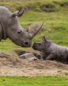 Mama rhino and her baby stare each other out. Super Cute!!