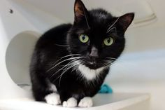 """GERTON - A1091843 - - Manhattan  **TO BE DESTROYED 10/23/16*** BEGINNER GERTON IS A HEAD-BUTTING SWEETIE BUT A COLD SENDS HIM TO THE EUTH ROOM TOMORROW!! A volunteer writes: """"Very affectionate"""" are the words echoed by those who've met this fluffy tuxie boy. Gerton came to us as a stray, but the finder who brought him in vouched that Gerton would rub against her leg, enjoyed pettings, and showed absolutely no aggression at all. (Hmm, sounds like a pet cat w"""