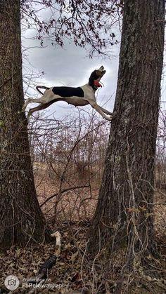 if my Barney Beagle had long legs.if my Barney Beagle had long legs….if my Barney Beagle had long legs…. Hound Dog Breeds, Bulldog Breeds, Plott Hound, Art Beagle, Beagle Dog, Labrador Puppies, Retriever Puppies, Labrador Retrievers, Corgi Puppies
