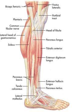 Leg Anatomy, Human Body Anatomy, Muscle Anatomy, Anatomy Study, Anatomy Reference, Sports Massage Therapist, Massage Therapy, Peroneus Longus, Body Chart