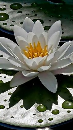 White and yellow water lily with green foliage Exotic Flowers, Tropical Flowers, Amazing Flowers, Beautiful Flowers, Pond Plants, Aquatic Plants, Water Plants, Lily Pond, Water Flowers