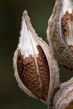 milkweed // seed pods