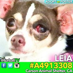 #SaveLEIA - #A4913308 SHIVERING CUTIESTRAY Hidden in MEDICALNEEDS an ANGELIn 5 DAYS on 01/27  Please spread the word about LEIA, a foster or adopter would save her life  o #Chihuahua o AGE:2 o Female o ARRIVED:1/22 o #CarsonShelter - 310-523-9566  o 216 Victoria St. Gardena,CA 90248 o M-TH 12pm - 7pm, F-SU - 10am - 5pm  If you can FOSTER and live within 2 hours of L.A. please email: ▶️▶️ CarsonFosters@gmail.com  More Videos: @FurballTV #Repost #Foster #Rescue #Adopt