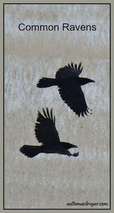 Common Ravens, RM Montmartre, SK, Mar 2018. Source: Anita Mae Draper Left Arm Tattoos, Jackdaw, Crows Ravens, Bald Eagle, Celtic, Wildlife, Window, Birds, Photos