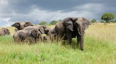 Arusha, Trip Advisor, Safari, Elephant, Photos, Animals, Tanzania, Pictures, Animales