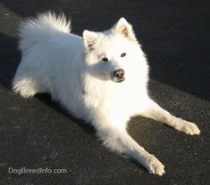 American Eskimo Dog    Breed Information and 30+ Photos - FallinPets #dogs #doglover #pets