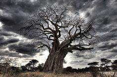 baobab oil tree (Adansonia ) ○ INGREDIENT Rener Health SF skin nutrition cream ○  #health #skin #skincare #crueltyfree #cosmetic