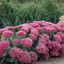 Autumn Joy (Sedum/Stonecrop) This plant is a Fall bloomer that's beloved by butterflies, deer resistant, and grows in just about every climate zone.