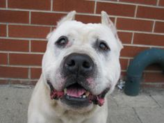 TO BE DESTROYED 04/10/14 Brooklyn Center -P  My name is MAX. My Animal ID # is A0995378. I am a male white pit bull mix. The shelter thinks I am about 7 YEARS old.  I came in the shelter as a OWNER SUR on 04/01/2014 from NY 11436, owner surrender reason stated was LLORDPRIVA.  https://www.facebook.com/photo.php?fbid=781350655211149&set=a.611290788883804.1073741851.152876678058553&type=3&theater