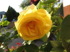 http://fineartamerica.com/featured/yellow-rose-in-the-golden-hour-elisabeth-ann.html?newartwork=true  This Picture Is For Sale More Info Click The Link Art Print $17