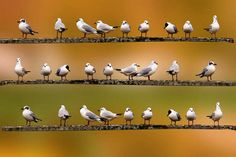 seagulls in a row   Flickr - Photo Sharing!