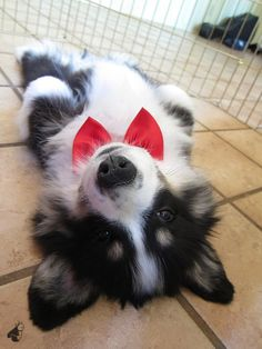 Looks a bit like my tri-color as a puppy.  Belly-up :)