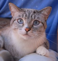 Blue is happiest in your lap or arms when he knows you are pleased with him.  He is a handsome lynx point Siamese, 3 years young, neutered boy, ready for adoption at Nevada SPCA (www.nevadaspca.org).  Blue gets along well with cats and dogs.  He needed us due to his previous owners' allergies.