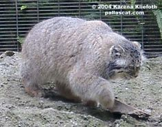 Photos of Pallas Cats, page 7!