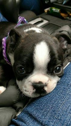 The Boston Terrier breed originated in Boston and is one of the few breeds that are native to the U. In the an inter-mixing of English Bulldogs Terrier Breeds, Terrier Puppies, Terrier Mix, Pet Dogs, Dog Cat, Pets, Doggies, Chihuahua Dogs, Boston Terrier Love