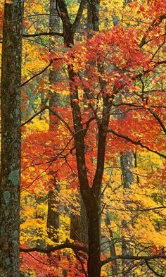 Maple Trees in Autumn / Great Smoky Mountains, Tennessee