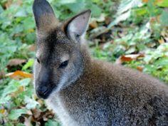 Wallaby, Camperdown Wildlife Park