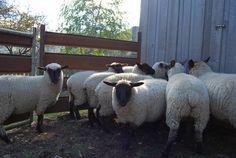 suffolk sheep Black Faced Sheep, Suffolk Sheep, Lambs, Livestock, Homesteading, Spinning, Goats, Animals, Lamb