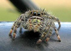 https://flic.kr/p/4L5erR   Jumping Spider   Order: Araneae. Family: Salticidae. Genus: Phidippus. (Arlington, MA)