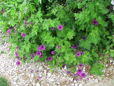 GERANIUM 'SANDRINE'  Geraniaceae  Like Geranium 'Ann Folkard' on steroids. Black-eyed purple-magenta flowers 5cm wide May-Oct, yellow-green foliage, herbaceous clamberer. PVR - propagation for resale prohibited. . Bob's score = 8 RHS Hardiness Rating: H7.