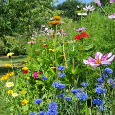 Cornflowers, zinnias, larkspur, cosmos and calendula growing on our organic flower farm.