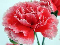 Imágenes de flores y plantas: CLAVEL