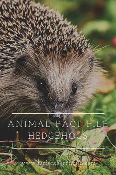 Find out more about hedgehogs and how you can help protect them in Britain with our latest fact file! Animal Fact File, Animal Facts For Kids, Animals For Kids, Hedgehog Facts, Animals Information, Forest Adventure, Forest Bathing, Outdoor Activities For Kids, British Wildlife