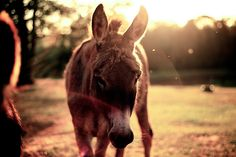 Donkey in the evening sun