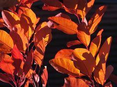 #smoke #tree #autumn #fall #red #foliage in the sun