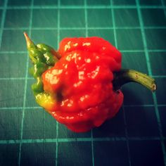 The Carolina Reaper. The current Guinness World Record holder for the world's hottest chilli. An average of 1,569,300 Scovilles. #chilli #growyourown #hydroponics #coco buy seeds  http://grownuphydroponics.com/everything-chilli.html #doyoudare #spicy