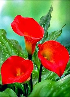 ❀Red Calla Lilies
