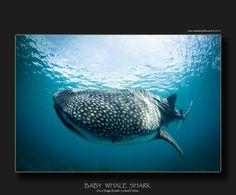 BABY WHALE SHARK