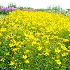 'Tweety' coreopsis...new variety this year.  I really want to find some of this lemony yellow happiness!