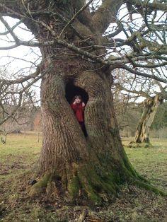 Hi Dad, I've found Harry Potter!..... (800 year old oak tree. Location - Hamilton, Scotland)