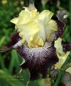 Photo of Tall Bearded Iris (Iris 'It's No Secret'). Caption: At Schreiner's Iris Gardens, Oregon. Iris Flowers, Types Of Flowers, All Flowers, Exotic Flowers, Amazing Flowers, Colorful Flowers, Planting Flowers, Beautiful Flowers, Iris Garden