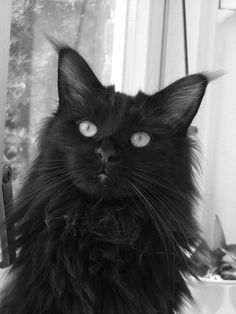 Main Coon Kayla...black beauty.  He looks as though he can see right through me.