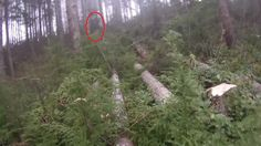 Bigfoot Terrifies Logger In Remote Section Of Northern California Bigfoot Sightings, Bigfoot Sasquatch, Cryptozoology, Archipelago, Northern California, Remote, Mystery, Creatures, Outdoor