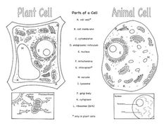 A Picture Of A Plant Cell With Labels Plant Cell Diagram Label