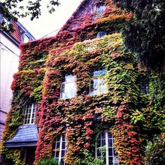 Ivy changing colors in my neighborhood - Photo by Rebecca Jackson@Rebecca Jackson
