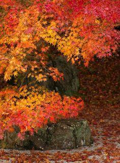 南禅寺天授庵 Tenju-an Temple,Kyoto Japanese Shrine, Japanese Love, Kyoto Japan, Tokyo Japan, Winter In Japan, Japan Garden, Autumn Scenery, Autumn Aesthetic, Red Tree