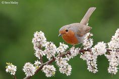 Photo A little Robin by Steve Mackay on Robin Day, Robin Bird, Beautiful Birds, Animals Beautiful, European Robin, Robin Redbreast, Bird House Feeder, Birds And The Bees, Pet Birds