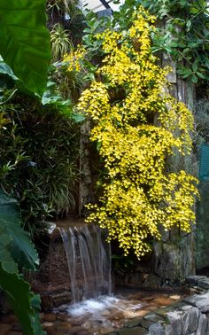 Dozens of yellow dancing lady orchids draped in front of a waterfall. I wonder if this look could be achieved with Acacia 'Kuranga Cascade'?
