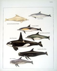 Humpbacked Dolphin Killer Whale Common Dolphin etc. Vintage