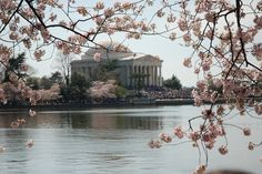 Jefferson Memorial and cherry blossoms...
