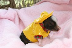 a pig. in a raincoat. the cutes don't stop coming!