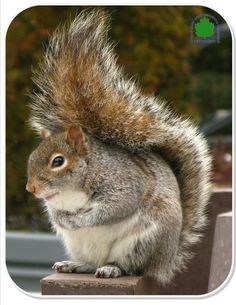 Why do squirrels have bushy tails?  A squirrel's tail is much more than a fashion accessory. It serves 3 main functions that enable the squirrel to survive: protection, balance and communication.