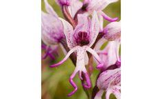 """Orchis simia, a orquídea primata - O seu nome científico dá a dica: Orchis simia. O termo """"símio"""", do latim para o português, faz referência aos macacos. E não é que esta orquídea parece mesmo ter florescido no corpo de um?"""
