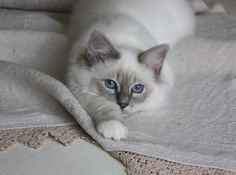 Sacré de Birmanie couleur Blue Point Tabby... le chat de mes rêves!!